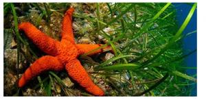Estrella de Mar